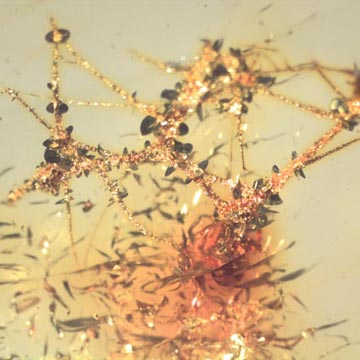 Rare Moth Fly With Eggs In Dominican Amber