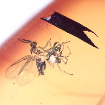 Rare Black Scavengerf Ly And Spider Fighting And Black Scavenger Fly In Dominican Amber