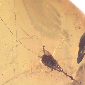 Rare Botanical Trapped In Web In Dominican Amber