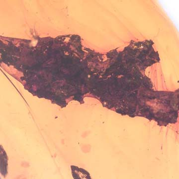 Rare Dirt Coverd With Web And True Midge In Dominican Amber