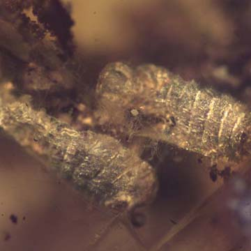 Rare Eight Larvae Of Ant And 2 Worker Ants In Dominican Amber
