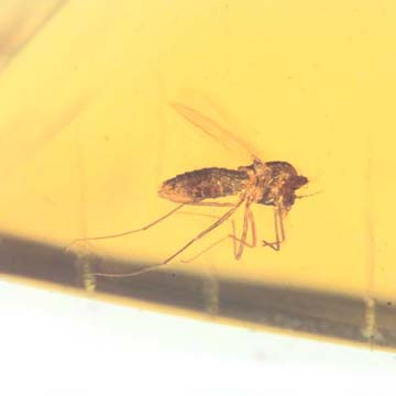Rare Two Mites Riding On Head Of Biting Midge In Dominican Amber.
