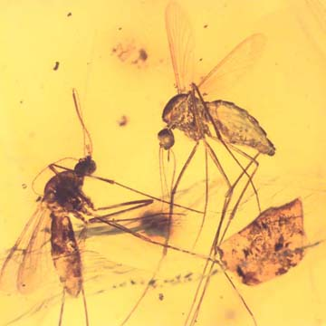 Rare Two Mosquitos In Dominican Amber