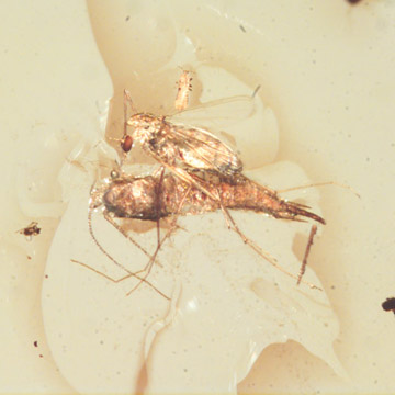 Rare Biting Midge Biting The Head Of Bristletail And Thrip Larva In Dominican Amber