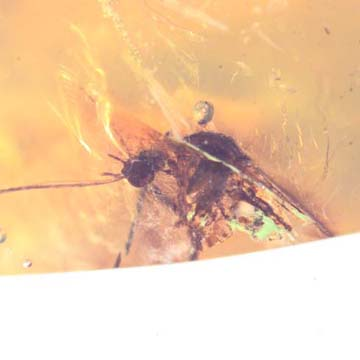 Rare Breached Mosquito In Dominican Amber