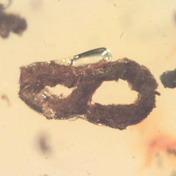 Rare Coprolite In Dominican Amber.