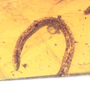 Rare Millipede In Dominican Amber