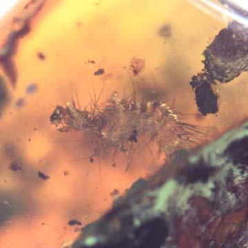 Rare Millipede In Dominican Amber