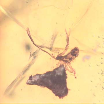 Rare Pseudoscorpion And Mammal Hair In Dominican Amber