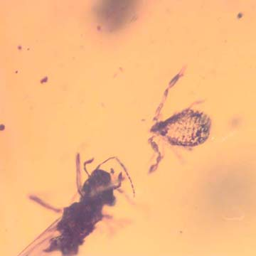 Rare Pseudoscorpion In Dominican Amber