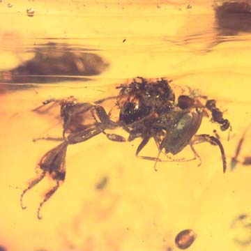 Rare Stingless Bee With Wasp On Its Head In Dominican Amber