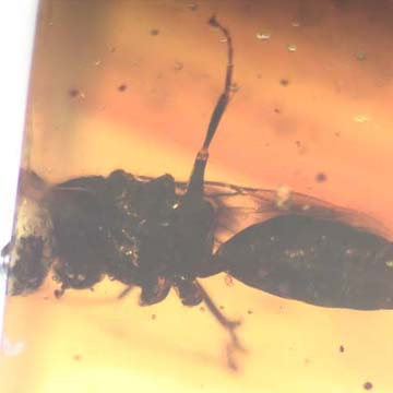 Rare Wasp With Fairy Fly Clinging On Its Leg In Dominican Amber