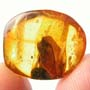 Rare Botanical In Dominican Amber