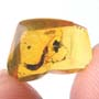 Rare Earwig In Dominican Amber