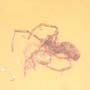 Rare Gall Midge With Genital Extended And Spider In Dominican Amber