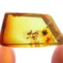 Rare Two Worker Ants Fighting In Dominican Amber