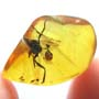 Rare Breached Evaniid Wasp In Dominican Amber