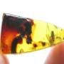 Rare Breached Millipede And Fungus Gnat In Dominican Amber