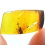 Rare Leafhopper Fighting Gall Midge In Dominican Amber.